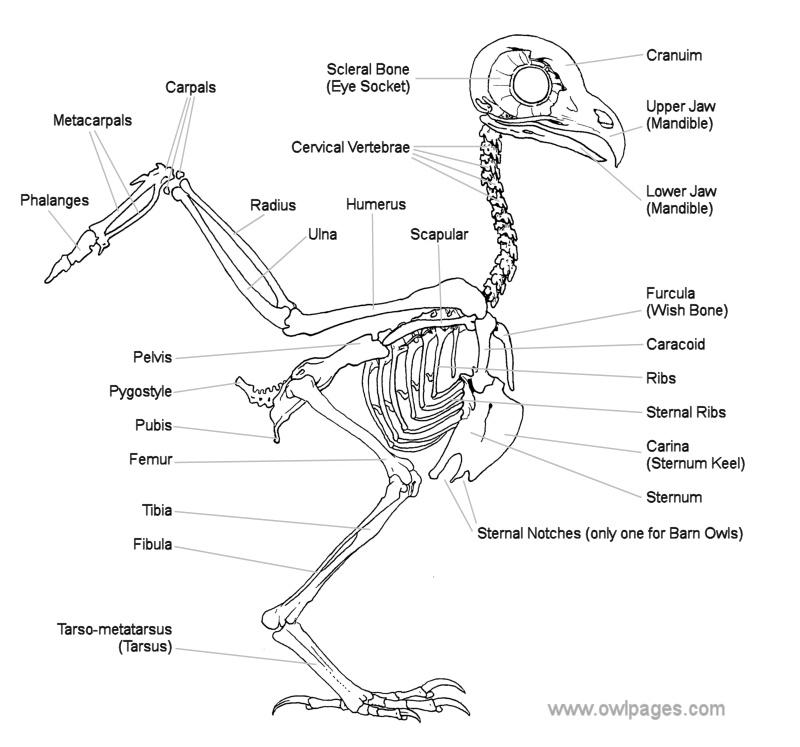 het skelet van een sneeuwuil